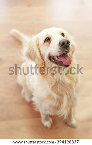 Golden retriever sitting on the floor at home