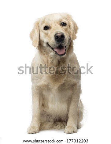 Golden Retriever sitting, panting,18 months old, isolated on white