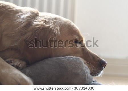 Golden Retriever sleeping - stock photo