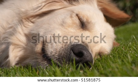 Golden Retriever sleeping in the grass
