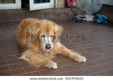 Golden Retriever Smart dog