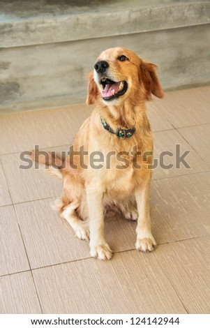 Golden retriever smile - stock photo