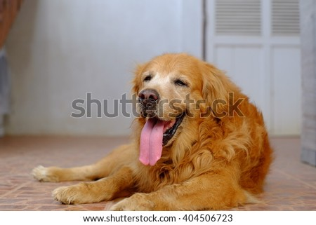 Golden Retriever smile