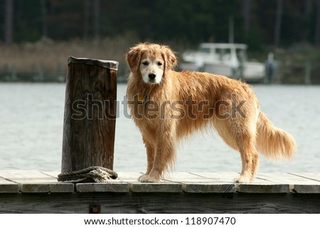 Golden Retriever Standing on Dock - stock photo
