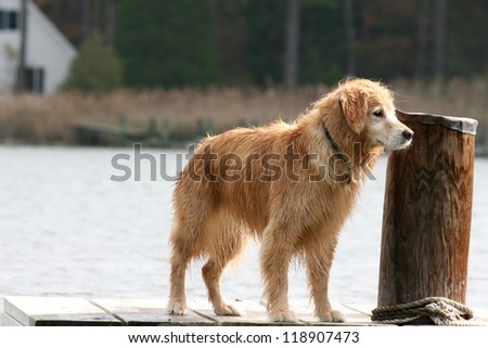 Golden Retriever Standing on Dock