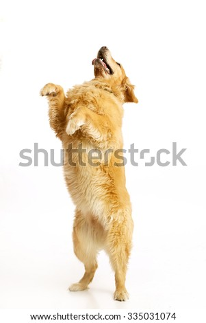 Golden Retriever standing on hind legs, isolated on white.