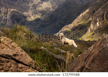 Golden Retriever standing on rough terrain in at the foot of the Black Cuilin, Isle of Skye, Scotland - stock photo