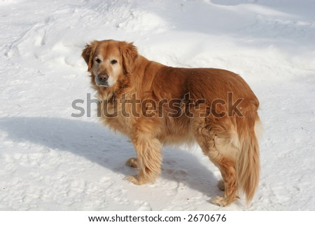 golden retriever standing on snow