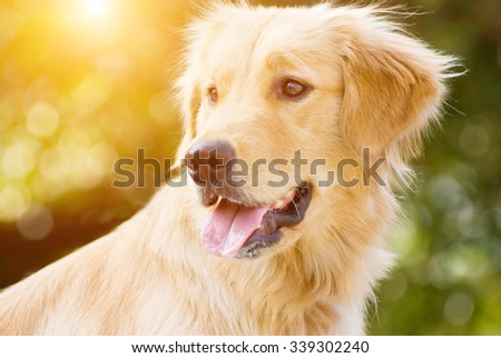 Golden Retriever stick its tongue out with back light and soft green background  - stock photo