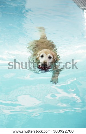 Golden retriever swimming in pool with red ball