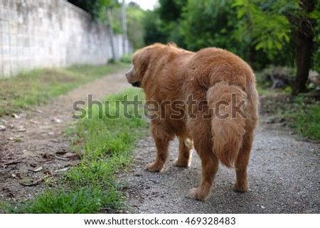 Golden Retriever Tail