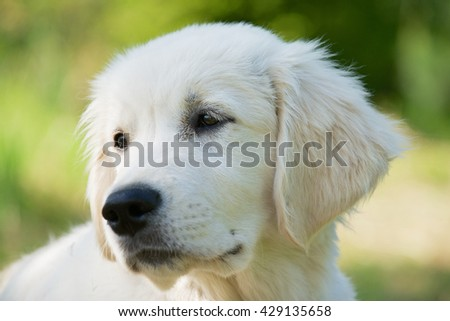 Golden retriever three months old dog portrait with a green grass background.. - stock photo