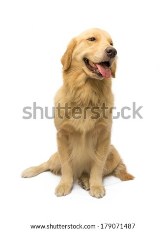 golden retriever waiting for order isolated in white background with clipping path