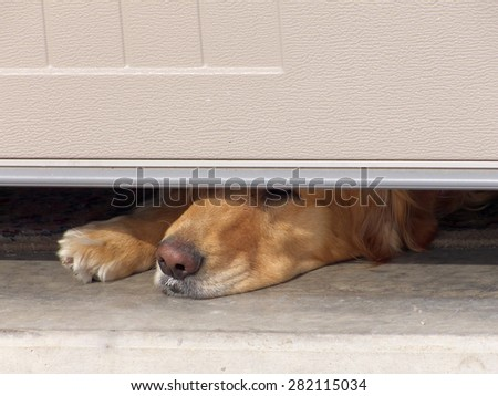 Golden Retriever waiting for owner to return home. The yogurt she just ate can be seen in the hair around her mouth. - stock photo