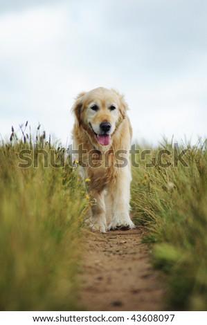 Golden Retriever Walking - stock photo