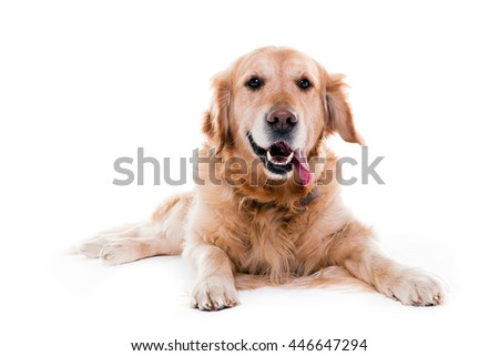 golden retriever watching me and smiling in white studio