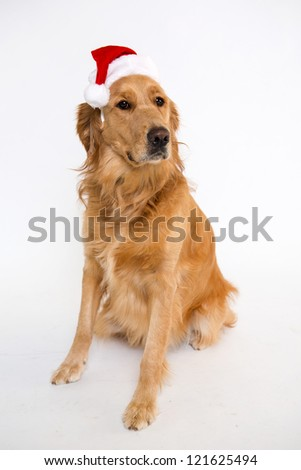 Golden Retriever wearing a Santa hat - stock photo