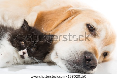 Golden Retriever with a Persian cat sleeping together - stock photo