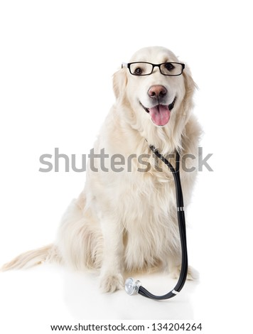 golden retriever with a stethoscope on his neck. looking at camera. isolated on white background