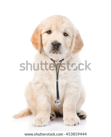 Golden retriever with a stethoscope on his neck.looking at camera. isolated on white background - stock photo
