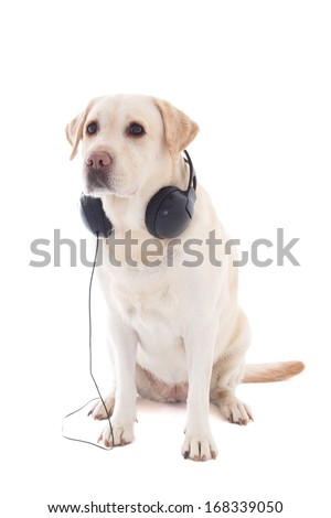 golden retriever with headphones sitting isolated on white background