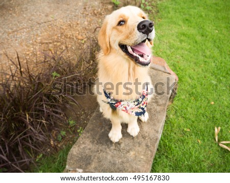 golden retriever with scarf sitting on the rock chair, green grass and dirt road background, big smile