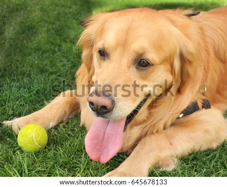 golden retriever with tennis  ball
