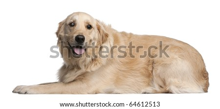 Golden Retriever, 3 years old, lying in front of white background - stock photo