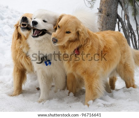 Golden Retrievers and Samoyed playing with a stick in the snow - stock photo