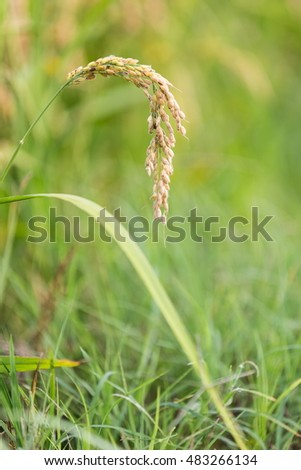 golden rice detail in the meadow