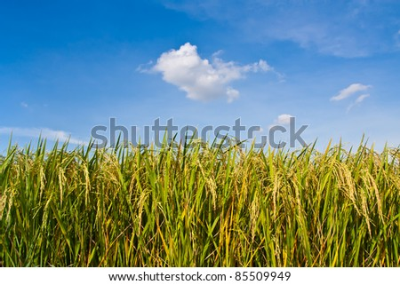 golden rice field and blue sky