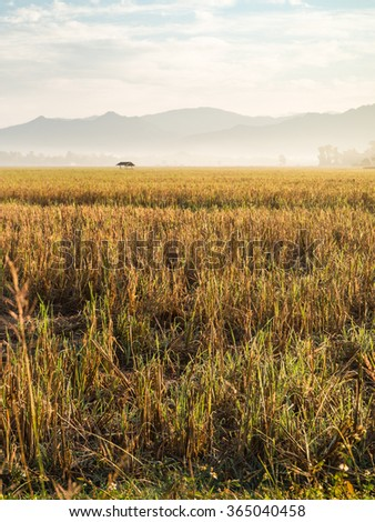 Golden rice field and mountain as background in North region, Thailand