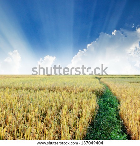 golden rice field with sunray background