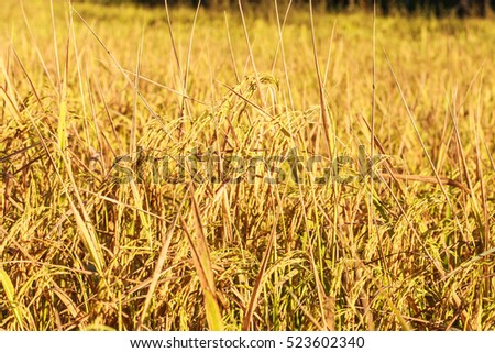 Golden rice fields ready to harvest paddy rice under the sunrise in the morning.