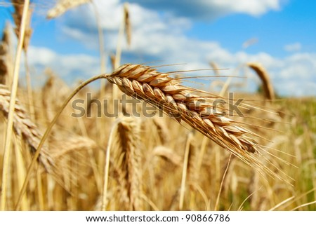 golden ripe ears of corn on the sunny summer day - stock photo