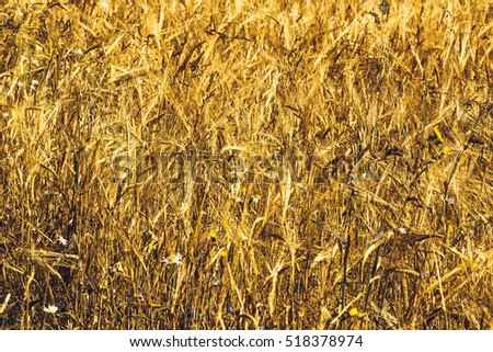 Golden Ripe Wheat Field, Agricultural Landscape, Bakery Background, Cultivate, Crop, Bread, Harvest Season, Baking Background, Food Background, Rye Field,  Wheat Background, Ripe Yellow Ears of Wheat