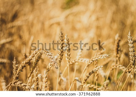 Golden ripe wheat field, sunny day, soft focus, agricultural landscape, growing plant, cultivate crop, autumnal nature, harvest season concept - stock photo