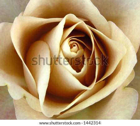 Golden Rose - stock photo