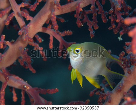 Golden sergeant in soft coral