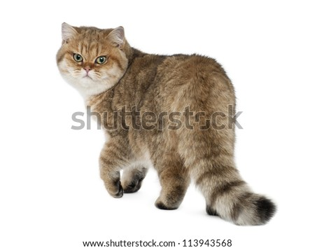Golden shaded British shorthair, 7 months old, walking against white background - stock photo