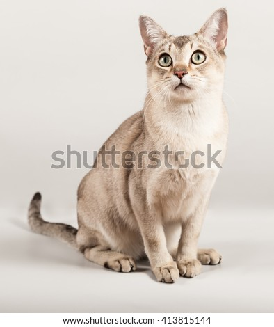 golden short hair breed cat sit at gray background - stock photo