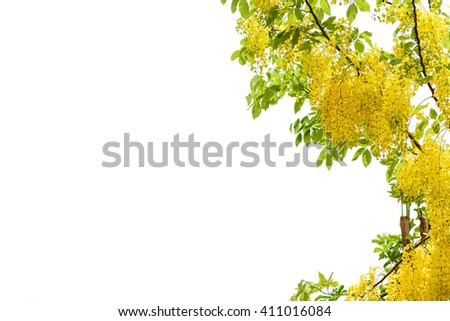 Golden Shower or Cassia Fistula, national flower of Thailand.