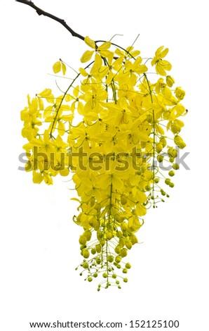 Golden Shower, Purging Cassia ( Cassis fistula Linn )  national flower of Thailand on white background  - stock photo