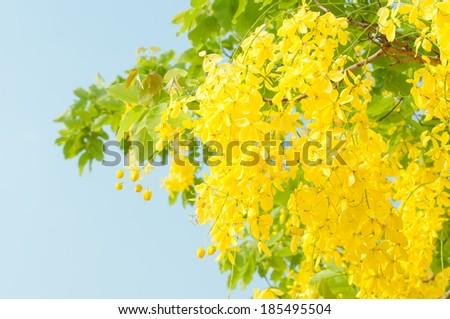Golden shower tree (Cassia fistula) with blue sky - stock photo