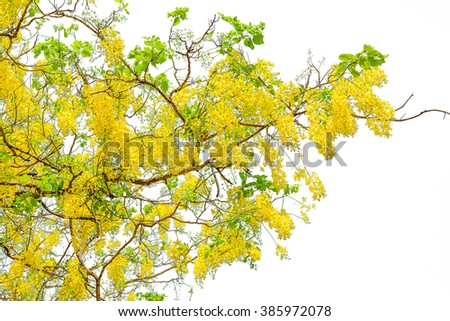 Golden shower tree, cassia tree on white background.