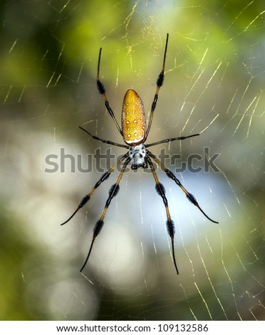 golden silk orb-weavers (genus Nephila) , giant wood spiders, or banana spiders,in  South Florida