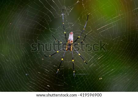 Golden silk orb-weavers (Nephila) spider male on a cobweb in the tropical north of Queensland, Australia - stock photo