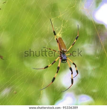 Golden Silk Spider. - stock photo