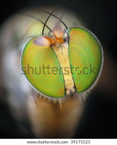 Golden soldier fly portrait