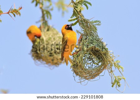 Golden Southern Masked Weaver - African Wild Bird Background - Nest builders, Home makers - stock photo